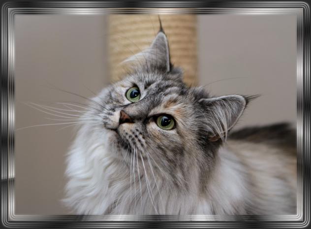 Norwegische Waldkatzen Av Tyssedal Kitten Die Norwegische Waldkatze